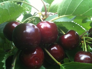 busy cherries